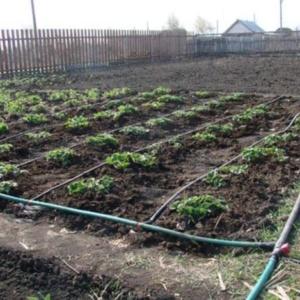 Когда лучше поливать огород: тонкости процесса
