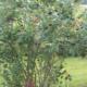 Правильная посадка и уход за рябиной черноплодной