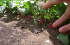 Секреты посадки редиски семенами