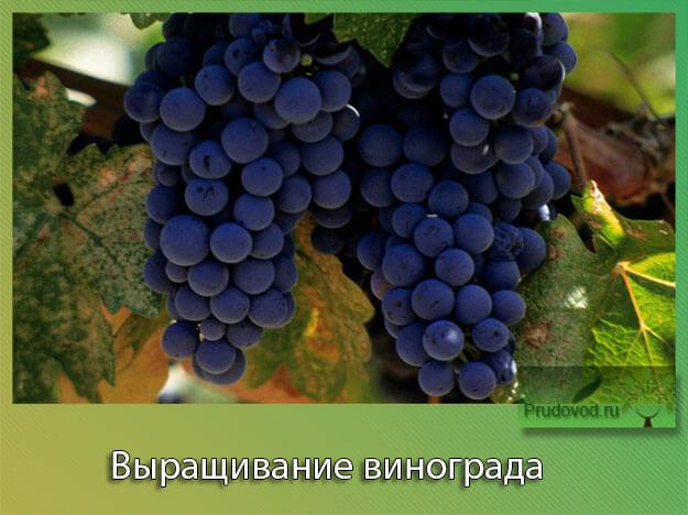 Чи можна виростити виноград з кісточки