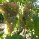 Секреты выращивания винограда из косточки