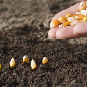 Как правильно посадить кукурузу в открытый грунт