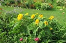Секреты выращивания декоративного подсолнуха