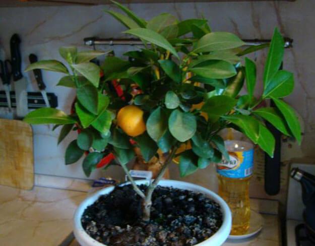 Как вырастить апельсины в домашних условиях из косточки 301