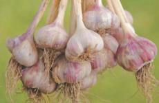 Тонкости выращивания и ухода за яровым чесноком