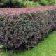 Секреты посадки барбариса весной