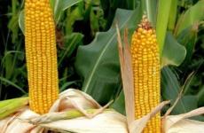 Тонкости посадки кукурузы на даче