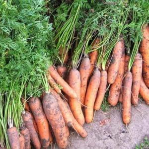Секреты и тонкости ухода за морковью после посадки