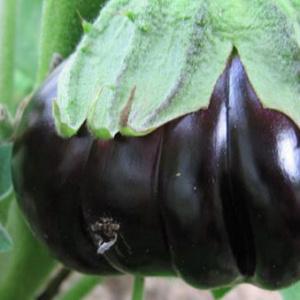 Секреты выращивания баклажанов в открытом грунте