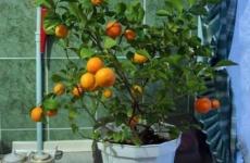 Секреты выращивания мандарина из косточки