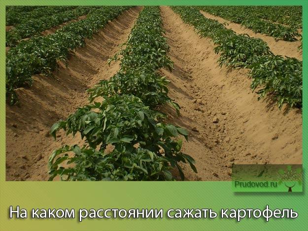Картошку сажать на расстоянии 947
