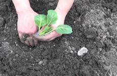 Интересные тонкости ухода за цветной капустой