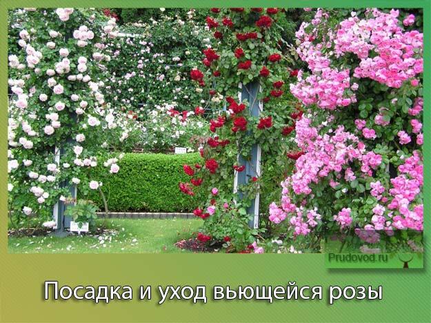 Посадка и уход вьющейся розы