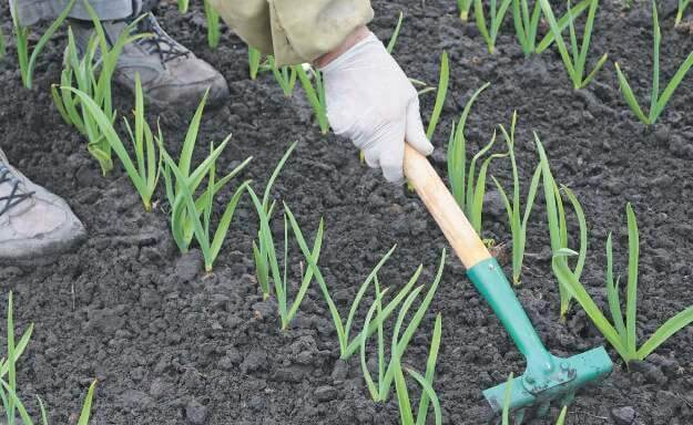 Яровой чеснок: выращивание и уход за овощем