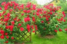 Хитрости посадки и ухода за розой плетущейся