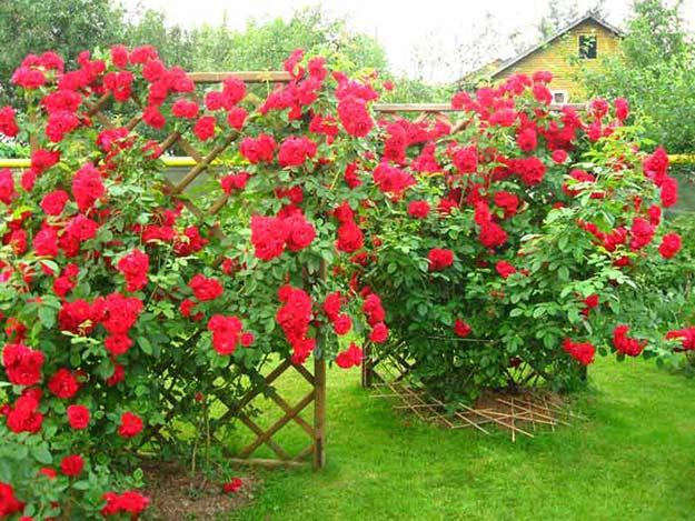 Посадка розы фламентанц
