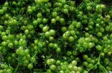 Секреты выращивания кориандра из семян