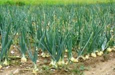 Секретный способ выращивания лука шалот