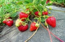 Особенности выращивания садовой земляники