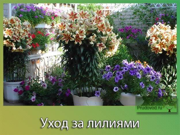 Лилии: посадка и уход в открытом грунте - выращиваем 30