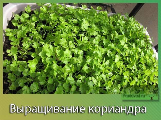 Как сажать семена кинзы в квартире 21