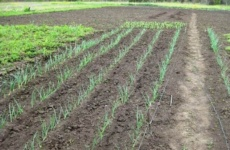 Тонкости выращивания лука из севка