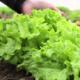 Интересные моменты посадки салата в открытый грунт