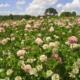 Кислая почва – помогут сидераты