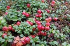 Интересная посадка клюквы садовой