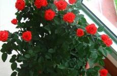 Секреты ухода за розой в горшке