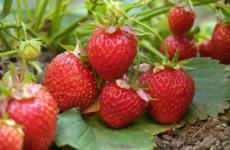 Весенние хлопоты с клубникой — залог будущего урожая