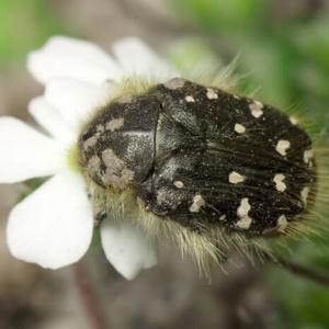 Как бороться с оленкой мохнатой и майским жуком?