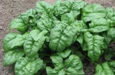 Секреты выращивания шпината на даче