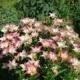 Хитрости ухода и посадки садовых лилий