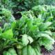 Интересно о высаживании шпината в открытый грунт