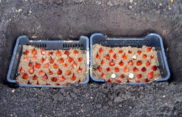 Как сажать луковичные в корзинах 816