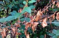 Основные способы лечения болезней вишни войлочной