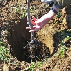 Увлекательный метод весенней посадки саженцев яблони