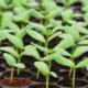 Выращивание орхидеи из семян стало возможным