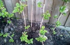 Интересные хитрости посадки малины весной