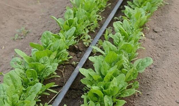 Когда сажать шпинат в открытый грунт: тонкости и секреты посадки