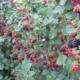 Выращивание ежевики на даче – просто и увлекательно