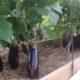 Секреты посадки баклажанов в теплицу из поликарбоната