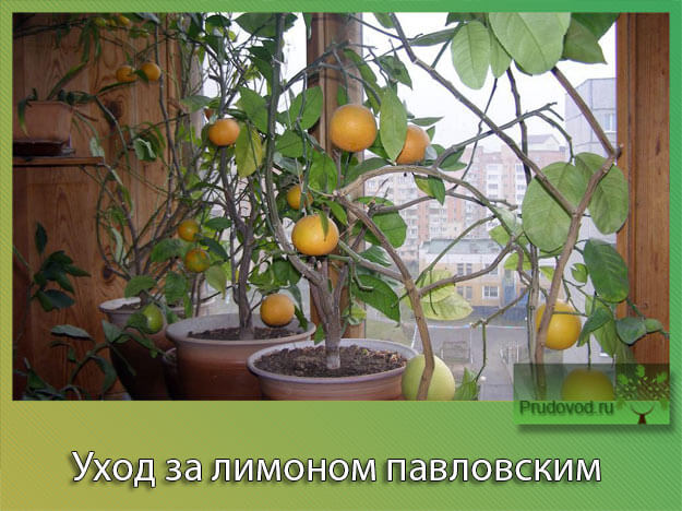 Уход за лимоном павловским
