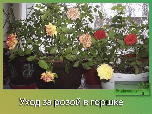 Уход за розой в горшке
