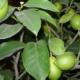 Выращивание лимона павловского дома