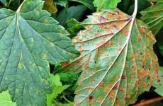 Люди или насекомые: кому достанется урожай черной смородины?