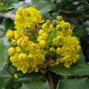 Украшение сада – магония падуболистная