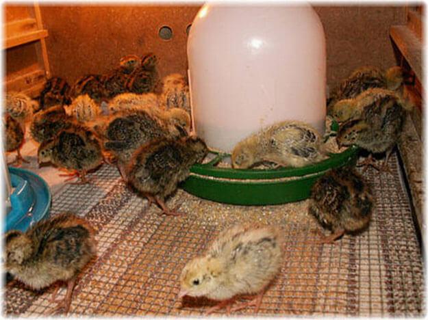 Чем болеют утки в домашних условиях