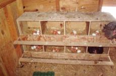 Создаем комфорт для кур – лучшие гнезда и насесты